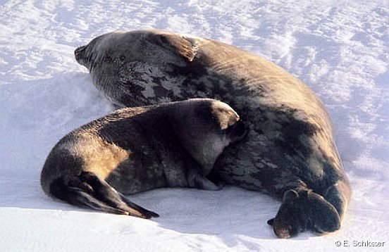 Weddell seal with young one