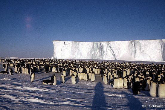 Emperor penguin colony, Atka Bay
