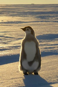 A young penguin on the ice shelf, in the background Neumayer Station at the horizon