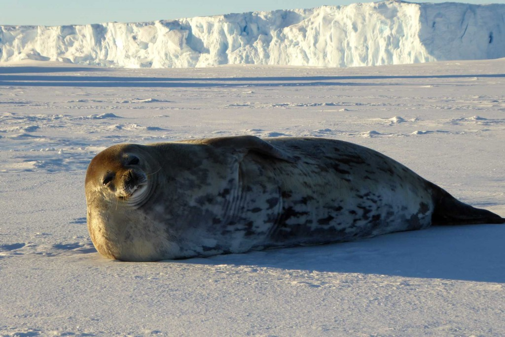 A Weddell Seal on the sea ice, in the background the ice shelf edge